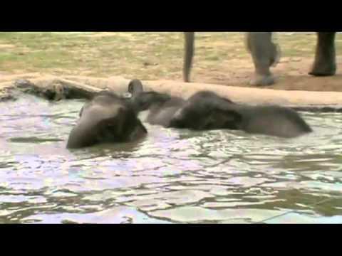KEJORA baby pigmy elephant whose parents were poisoned