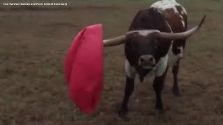 Longhorn reacts after popping his toy yoga ball | CUTE VIDEO