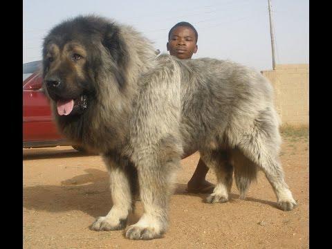 Caucasian Shepherd Dog ( Кавказская овчарка, Kavkazski Ovcharka )