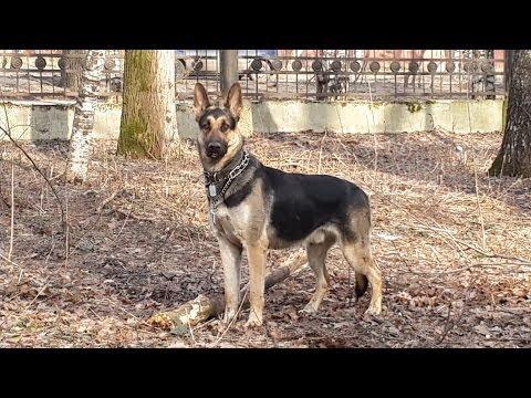 Воспитание восточно европейской овчСамодельные станки видео для