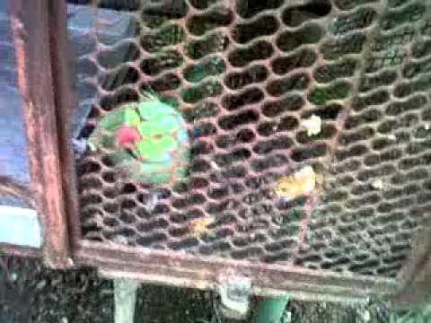Parrot pappi de pappi