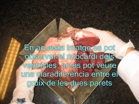 adn-dna.net 0143  Dissecció de cor de vaca