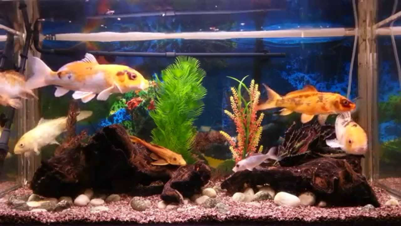 My koi fish aquarium with relaxing music youtube for Indoor koi aquarium