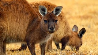 Why Female Kangaroos Are Nearly Always Pregnant