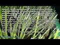 Приучене дегу к траве вместе с AVENA SATIVA