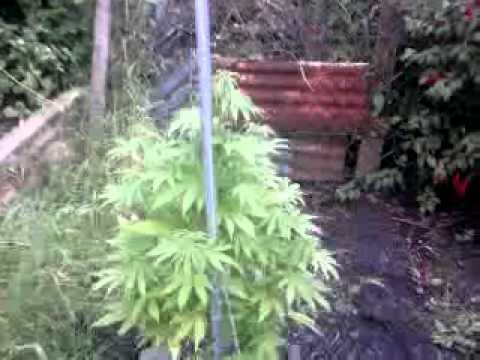 outdoor cannabis plants uk south wales 3 half month grow youtube