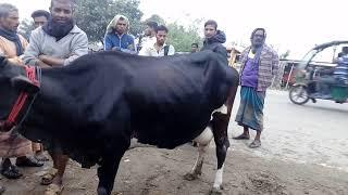 গরু ১০ কেজি দুধ দেয়া জাতের গরু গরুটি দেকবেন। Cow market in bangladesh