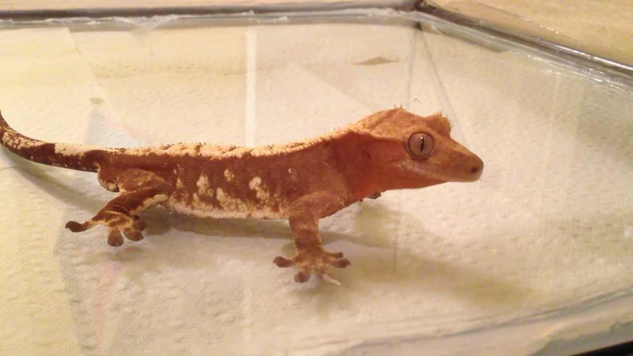Leopard gecko eating crickets