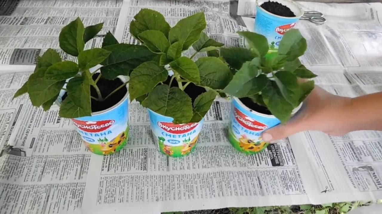 Выращивание гортензии крупнолистной из черенков 60