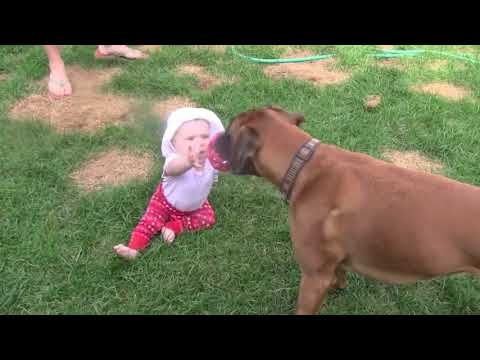 Linus the Boxer plays Tug-of-War with his baby