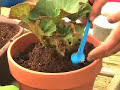 How To Grow Tuberous Begonias - White Flower Farm