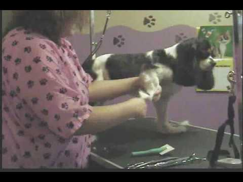 0 Cavalier King Charles Spaniel (Pet Groom Part 2)