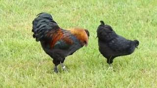 Silkie crosses. Cock & hen from same parents?