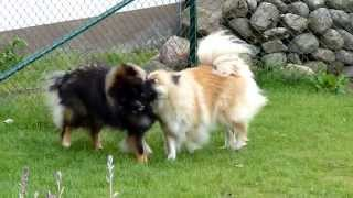 Eurasier Teddy and Sissy playing