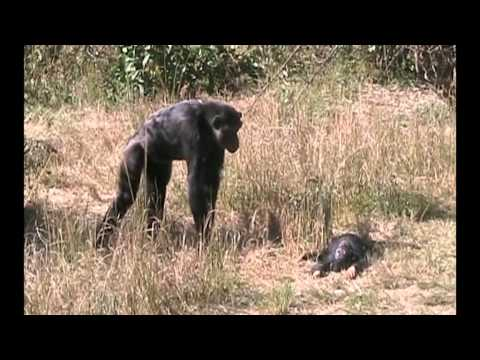 Chimpanzee mother learns about her dead infant