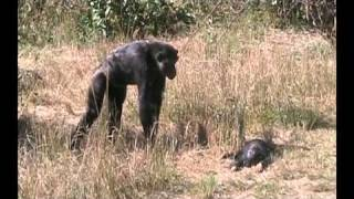 Chimpanzee - Chimpanzee mother learns about her dead infant