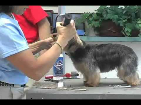 Super Styling Session Soft-Coated Yorkshire Terrier or Yorkie Grooming Tips