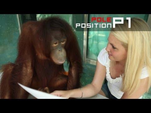 Katie the Orangutan predicts Malaysian GP 2013 winner - Fernando Alonso!