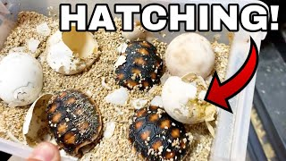 LIVE HATCHING OF EXOTIC BABY RED TORTOISE EGGS!