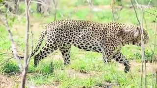 Largest Leopard male seen in Kruger