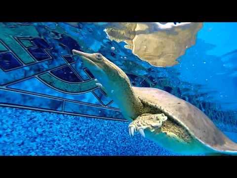 Pet Softshell Turtle Swimming Pool Bites GoPro Camera