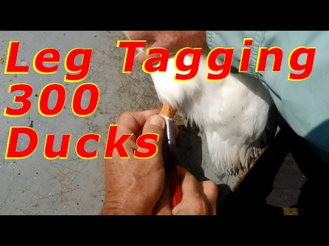 Huge Work Day Leg Tagging 300+ Ducks #8 Raising Free Range Ducks