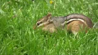 Adorable Chipmunks