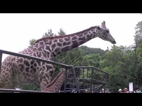 草を食べるキリンの赤ちゃん~Giraffe's Baby