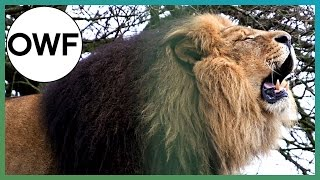 How loud is a Lion's ROAR? - One Wild Fact - Earth Unplugged