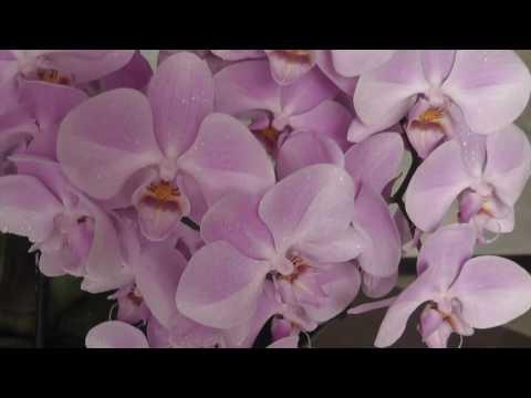 Phalaenopsis orchid.Целый год цветут орхидеи.