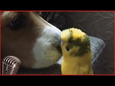 Смотреть самые смешные поющие попугаи! видео 2018 #4 видео приколы