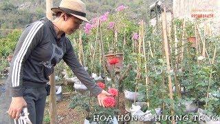Hướng dẫn cách ghép hoa hông(Vườn hoa ): 0988117577, 0972830478
