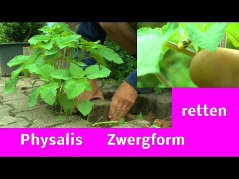 Physalis Zwergwuchs retten Garten ganz nah erleben Johannisbeeren Wuchs im Test