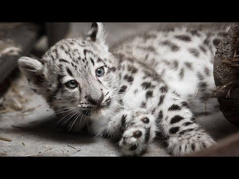 Snow Leopard Cub Exam at Cleveland Metroparks Zoo