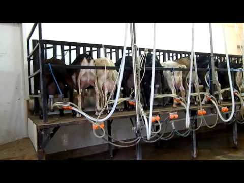 idyllwood farms milking demo.MP4