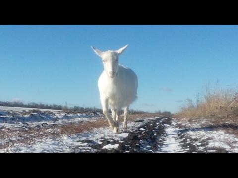 Как выглядит беременная коза. 3-ий и 4-ый месяцы.