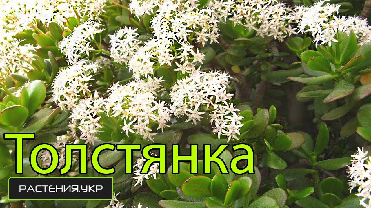 Цветок похож на денежное дерево фото