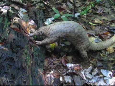 Malayan or Sunda pangolin (Manis javanica) of Borneo rainforest
