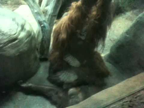 Orangutan Sex!!! video