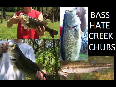 Fishing for big bass with creek chubs