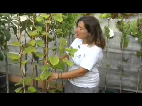 Cultivar kiwi youtube for Como sembrar plantas ornamentales