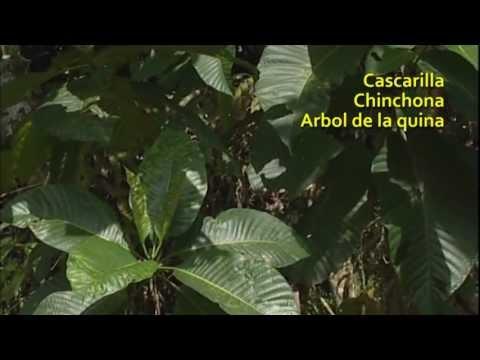 Quina * Cinchona spp