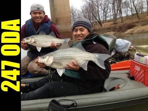 Fishing for BIG hybrid striped bass on kayak - 247 OutDoor Addiction