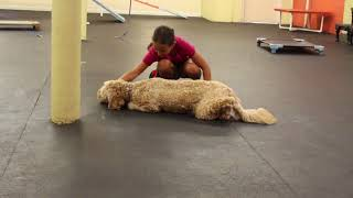 Dog Training   Trick Training Teaching the Crawl   Solid K9 Training Dog Training
