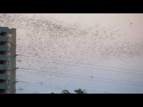 Over one million bats launch from South Congress Bridge in Austin, Texas