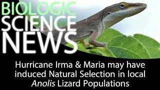 Science News - Hurricane Irma & Maria induced Natural Selection in Anolis Lizard Populations