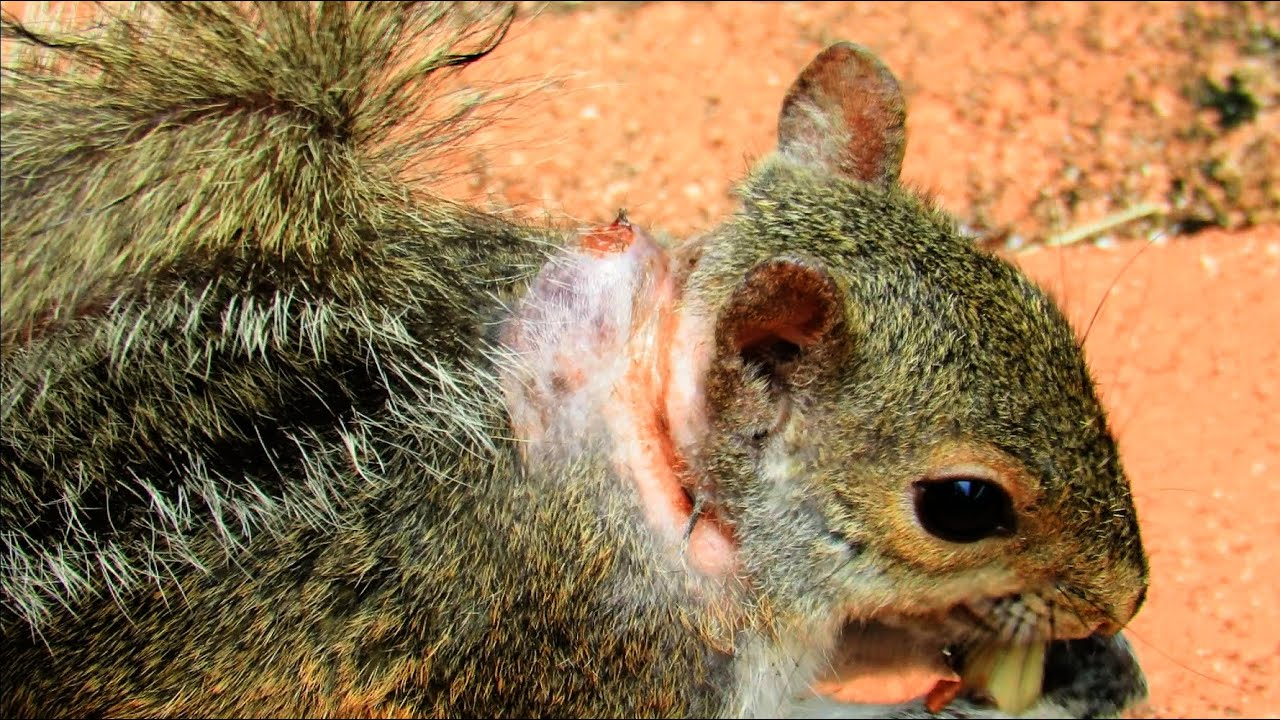 tree squirrel bot fly  Cuterebra emasculator Fitch  UFIFAS