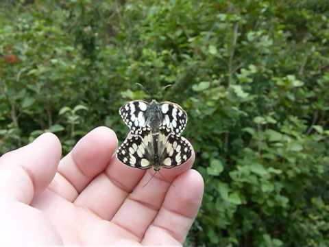 Marbled White Butterflies mating on my hand. 21st July 2012.