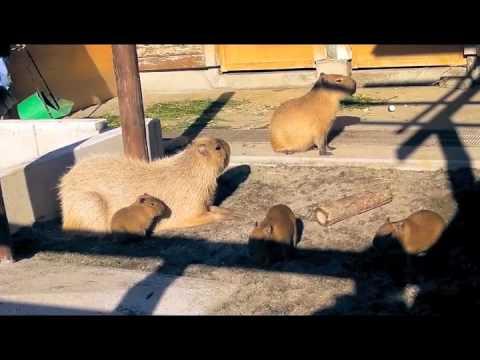 市川市動植物園のカピバラ家族
