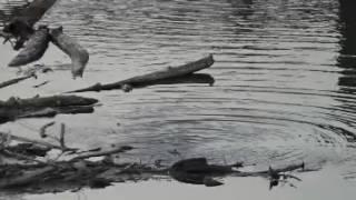 Blue Heron & Beaver at Wilamette Falls